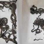 Após chamar serviço de resgate de animais, mulher descobre quase 90 cobras em casa